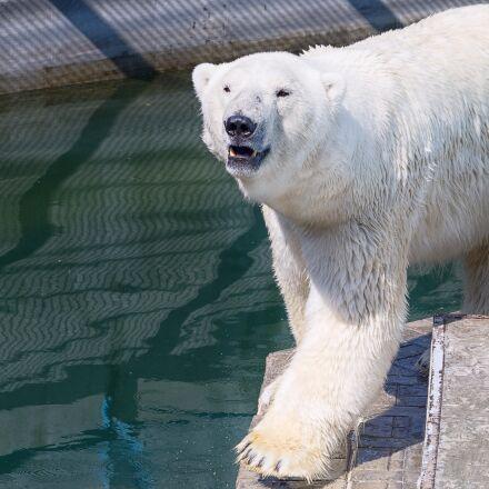 white bear, zoo, animals, Pentax K-500