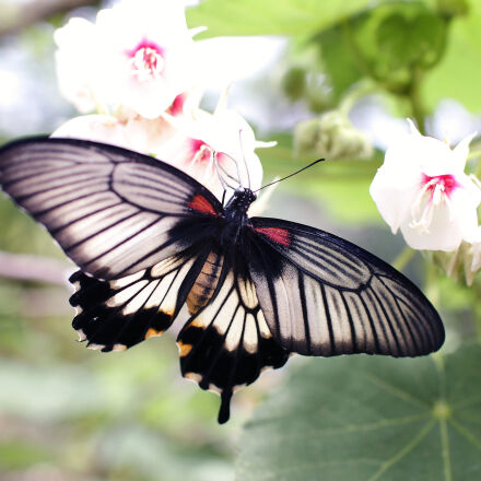 gray, and, black, butterfly, Canon EOS 70D