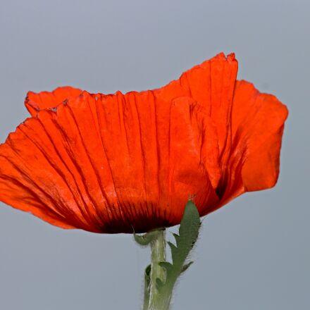 poppy, poppy flower, klatschmohn, Canon EOS 1100D