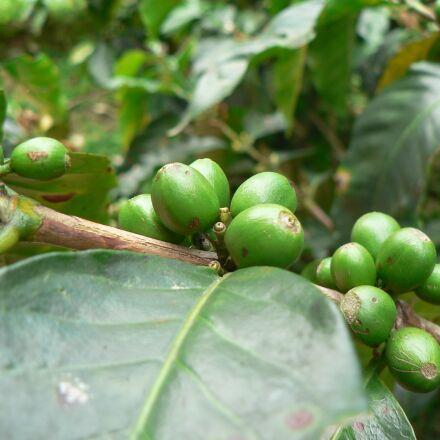 coffee, plant, green, Panasonic DMC-FZ5