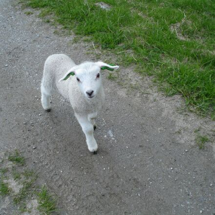 sheep, lamb, comely, Sony DSC-W17