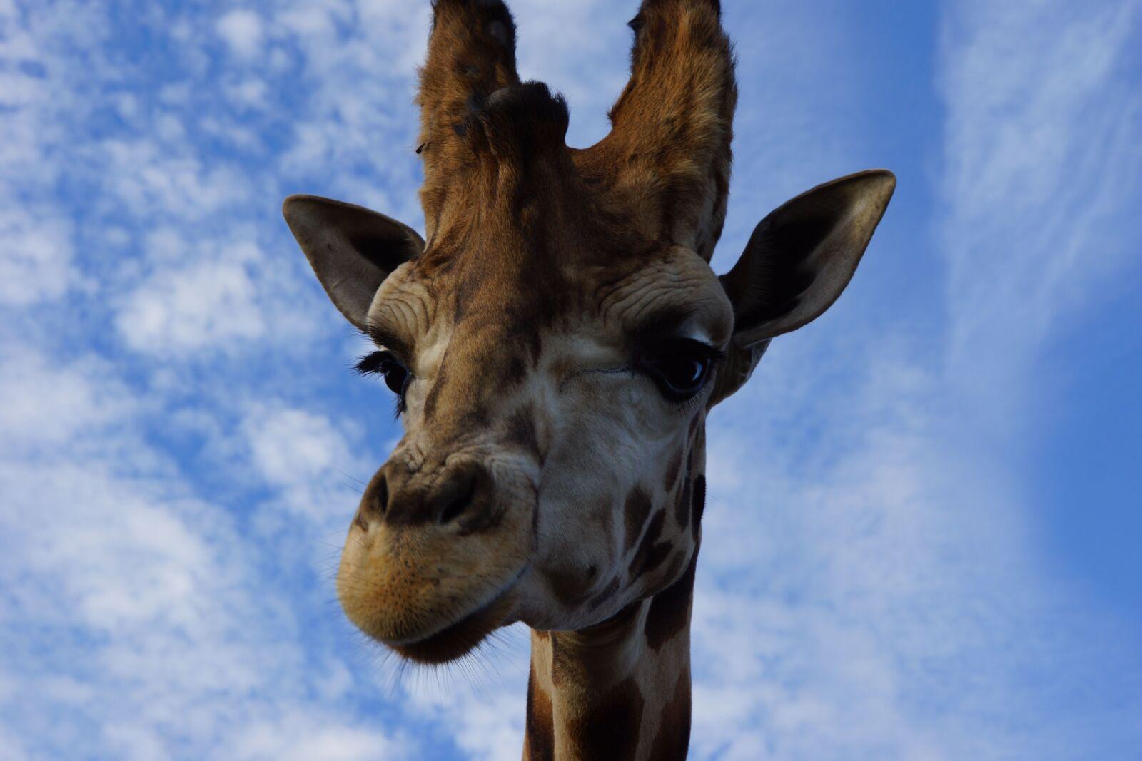 "Sony Alpha NEX-7 sample photo. ""Giraffe, animal, wild"" photography"