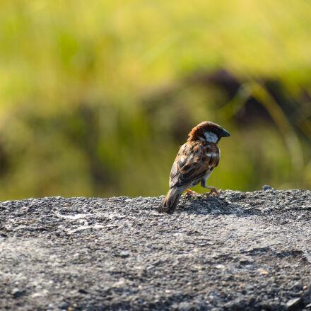 bird, natue, Nikon D3300