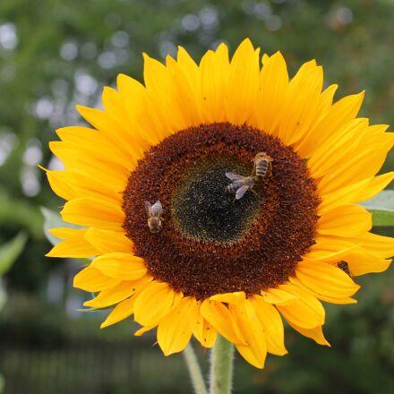 sunflower, bee, flower, Canon EOS 1100D