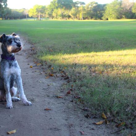 dog, schnauzer, Canon EOS REBEL T5I