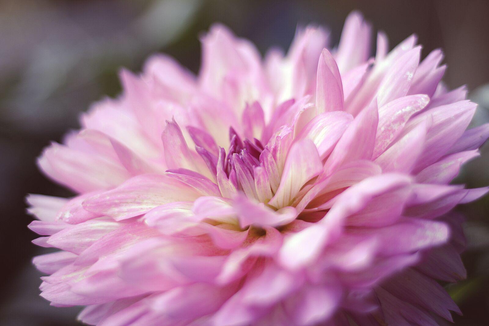 "Canon EOS 100D (EOS Rebel SL1 / EOS Kiss X7) sample photo. ""Dahlia, flower, blossom"" photography"