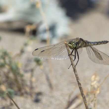 dragonfly, insect, wing, Canon EOS 7D
