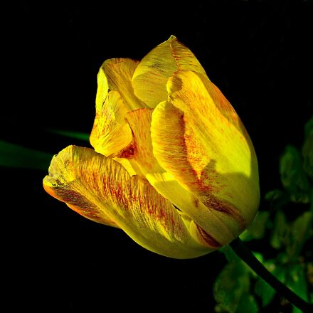 tulip, spring, nature, Sony DSC-V3