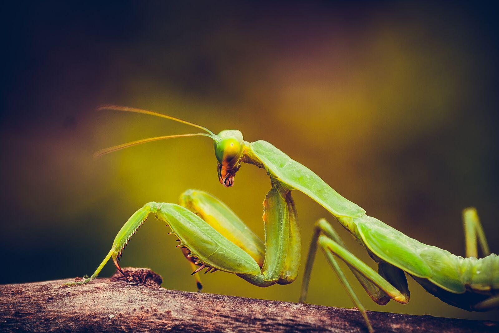 "Fujifilm X-E1 sample photo. ""Mantis, insect, nature"" photography"