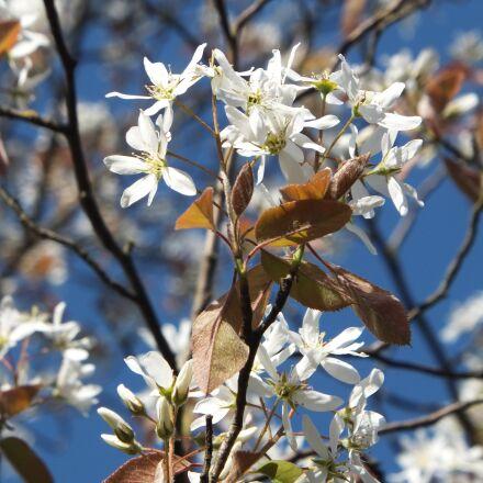 amelanchier, amelanchier laevis, flower, Fujifilm FinePix F550EXR