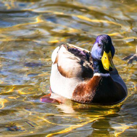animal, duck, drake, Panasonic DMC-G70