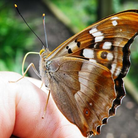 butterfly, lesser purple emperor, Fujifilm FinePix S8100fd