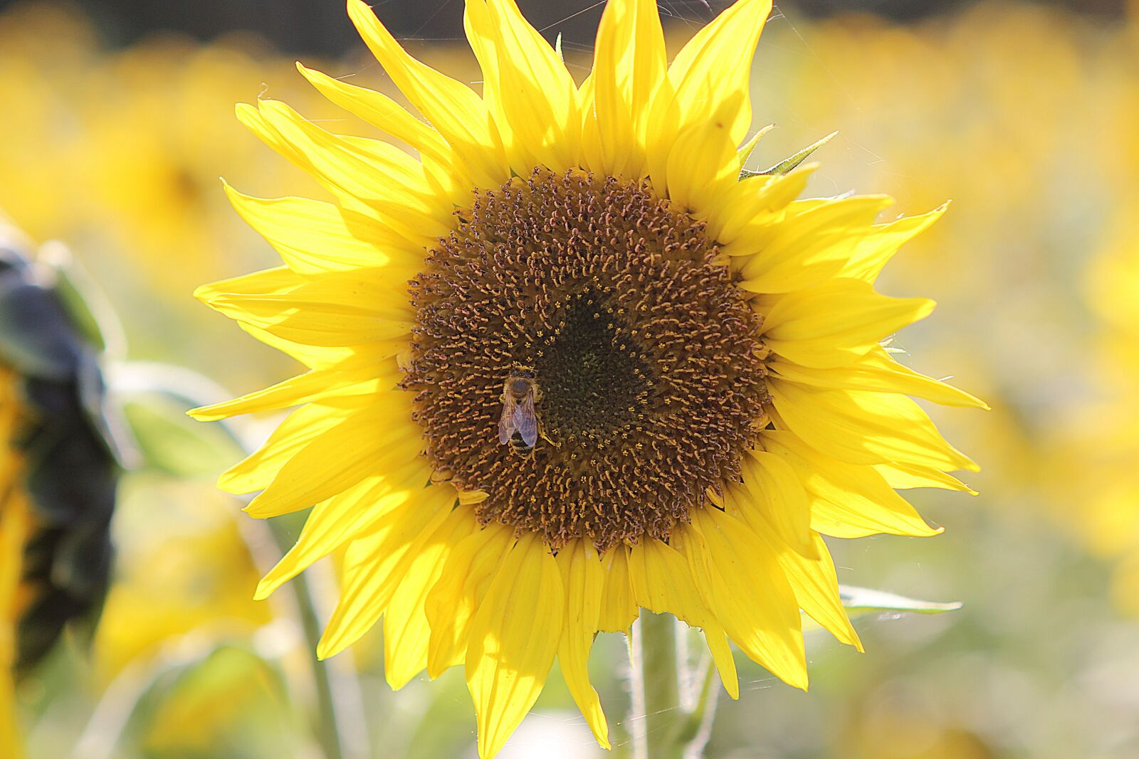 """Canon EOS 600D (Rebel EOS T3i / EOS Kiss X5) sample photo. """"Sunflower, bee, yellow"""" photography"""