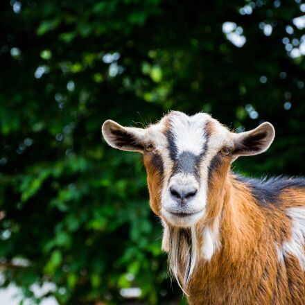 goat, goats, zoo, Nikon 1 V2