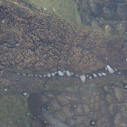 crocodile, alligator, zoo, Canon EOS 70D
