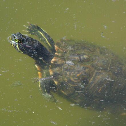turtle, water, reptile, Panasonic DMC-LZ20