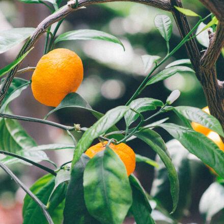 agriculture, citrus, confection, crop, Nikon D3100