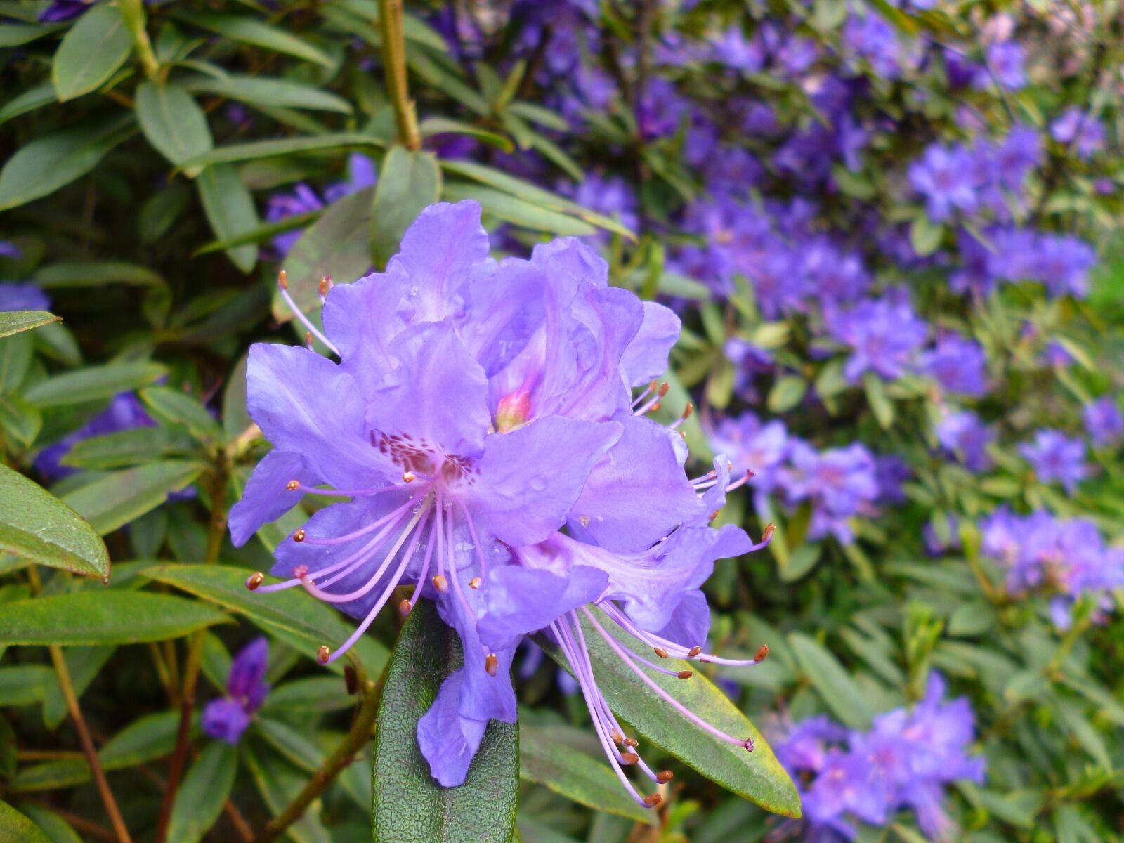 rhododendron, purple, bloom