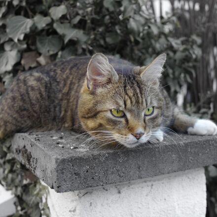 cat, cat's eyes, mieze, Panasonic DMC-GH2