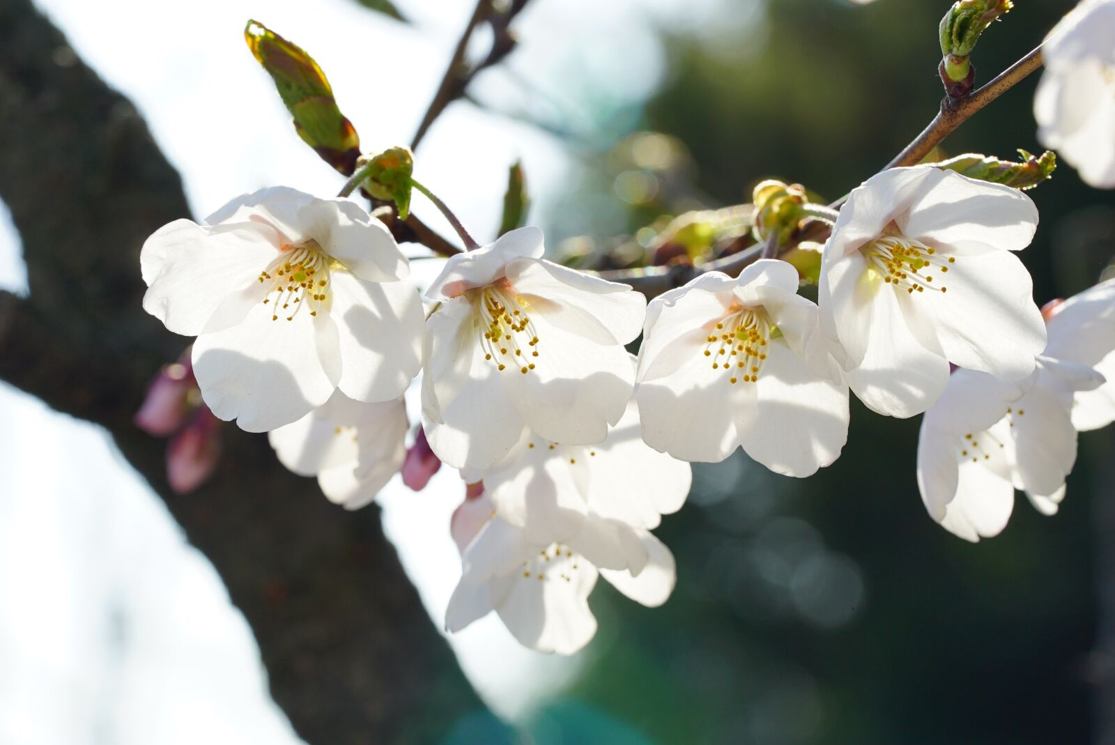 "Sony a7S sample photo. ""Cherry tree, cherry flower"" photography"