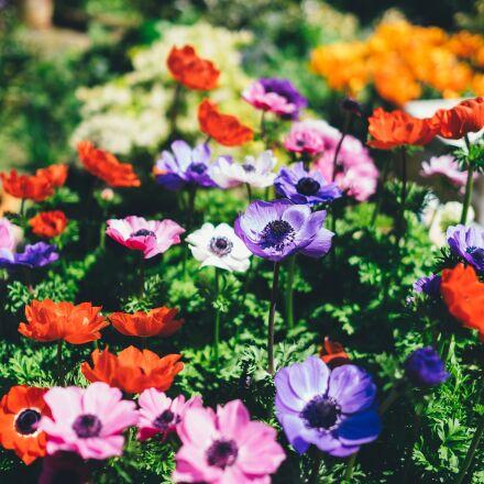 bloom, blossom, field, Fujifilm X-T1