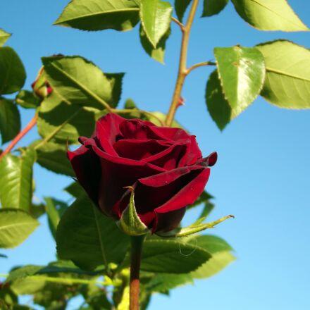 rose, red rose, macro, Fujifilm FinePix S2980