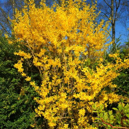 forsythia, flowers, yellow, Sony SLT-A99V