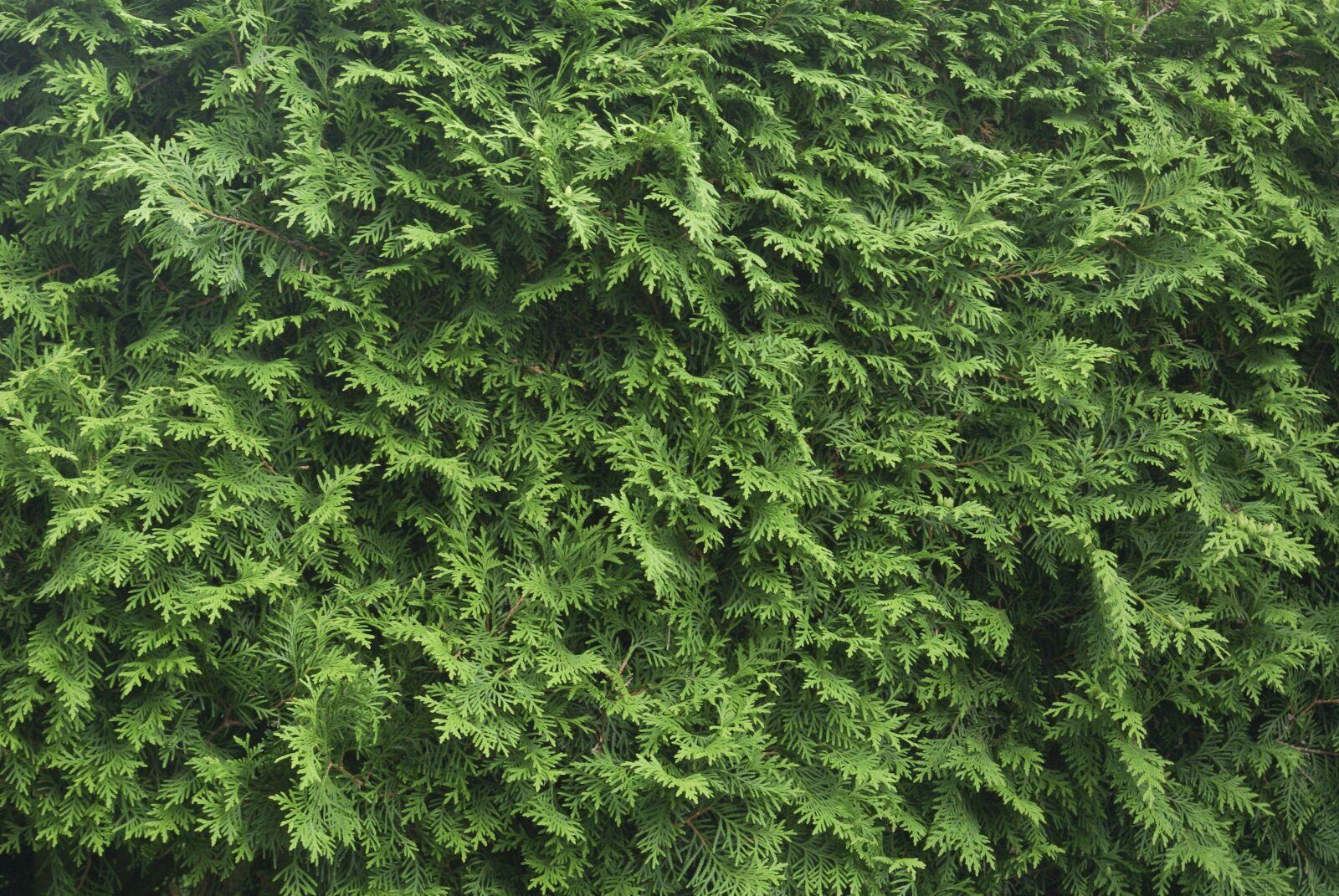 "Pentax K10D sample photo. ""Tujenhecke, hedge, texture"" photography"