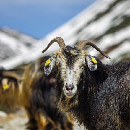 goat, sheep, highland, Pentax K-5 II S