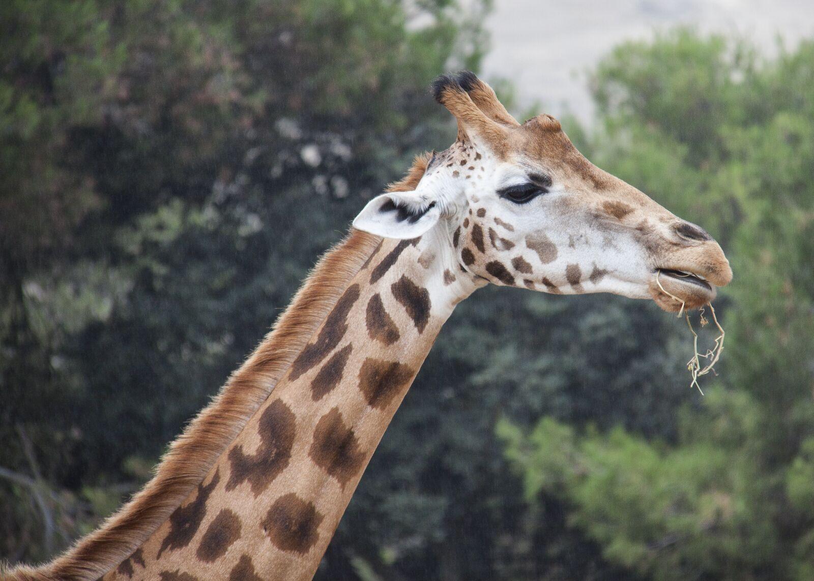 "Canon EOS 50D sample photo. ""Giraffe, animals, safari"" photography"