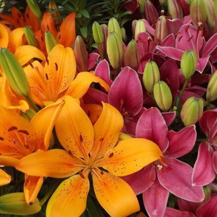 flowers, lilies, orange, Fujifilm FinePix S3400
