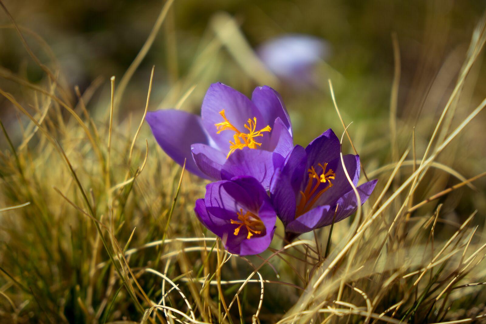 "Sony a6500 sample photo. ""Flower, saffron, purple"" photography"
