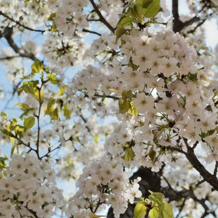 cherry tree, cherry blossom, Samsung NX30
