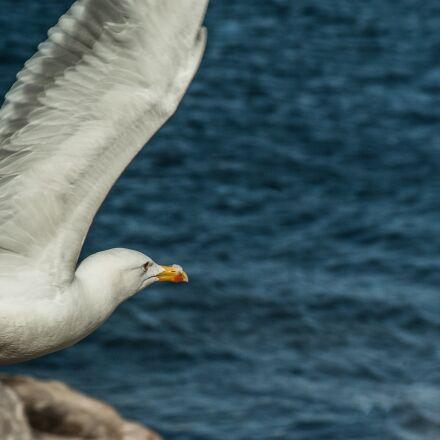 seagull, wings, flight, Pentax K10D