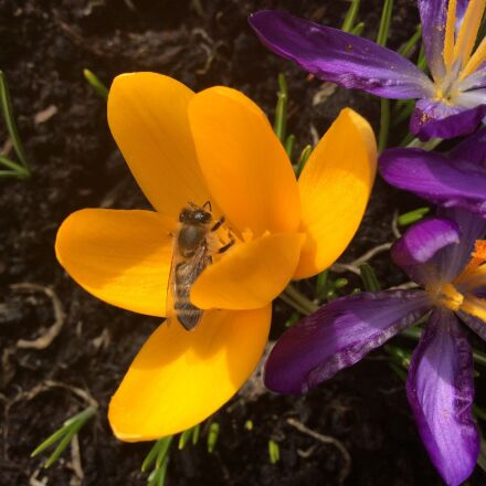 crocus, bee, spring, Apple iPad Air