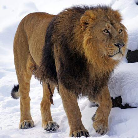 lion, male, indian, Sony ILCA-77M2