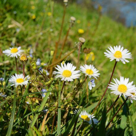 daisy, geese flower, flora, Nikon 1 S1
