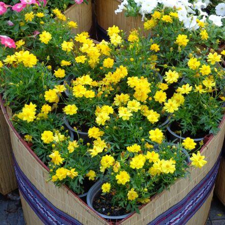 flowers, yellow, vietnam, Sony DSC-W690
