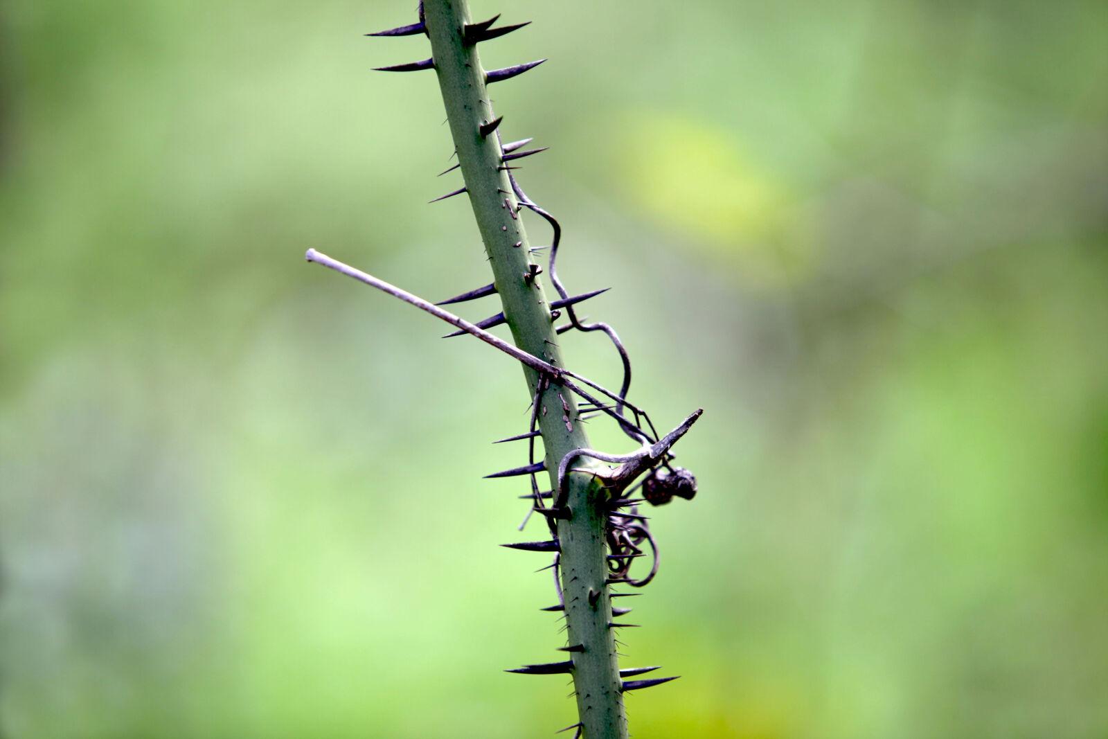 needle, plants, prickly, thorns
