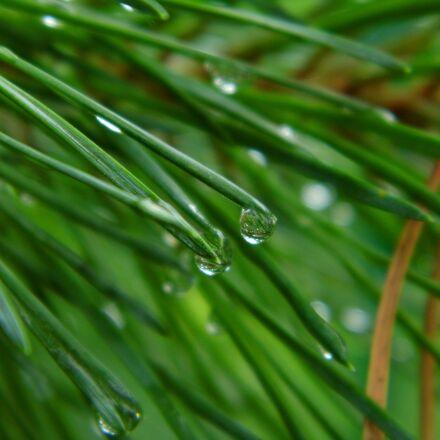 drops of water, conifer, Panasonic DMC-LZ20