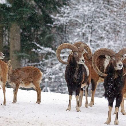 mouflon, horned, ruminant, Sony ILCA-77M2