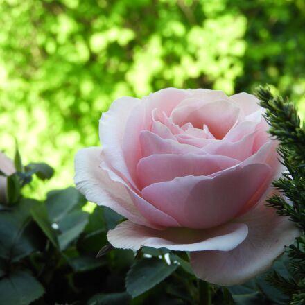 rose, pink, blossom, Nikon COOLPIX B700