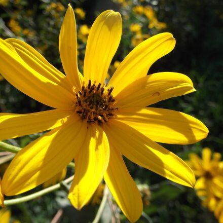 wildflower, wild flower, yellow, Fujifilm FinePix AX250