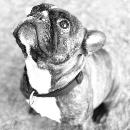 bulldog, dog, animal, Fujifilm X-T1