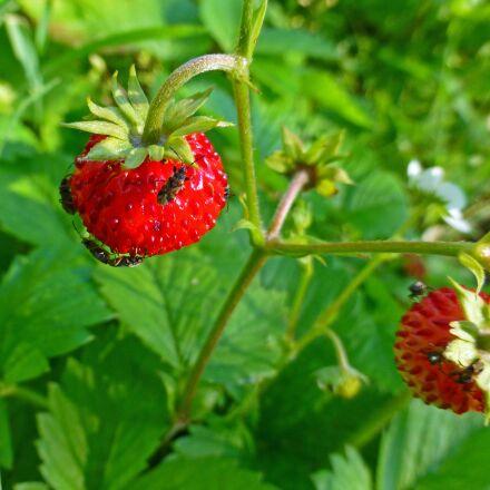 wild strawberry, plant, berry, Panasonic DMC-TZ30