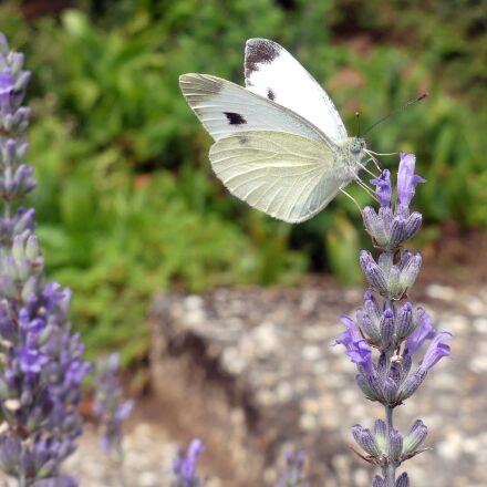 butterfly, insect, nature, Panasonic DMC-FZ300