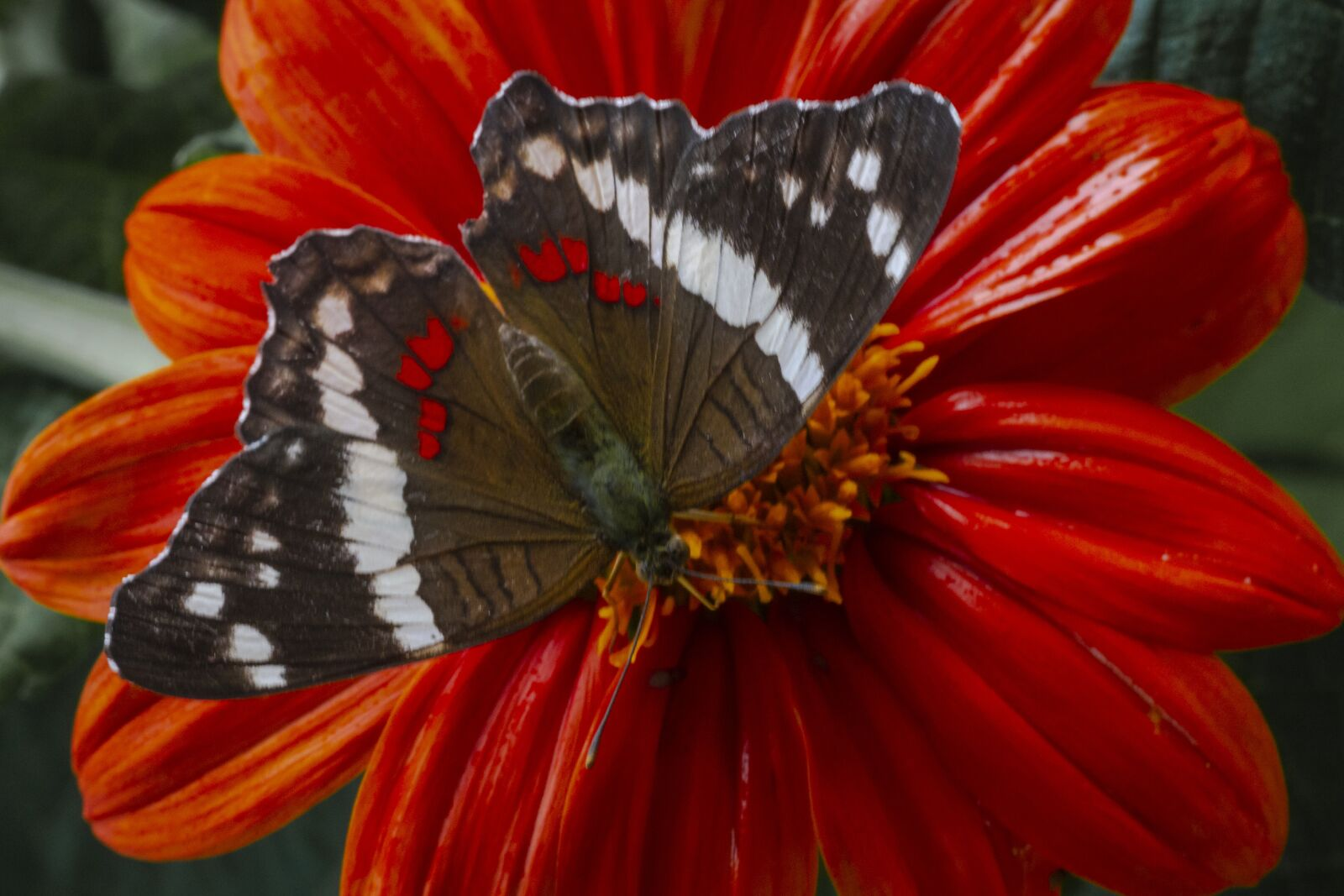 """Canon EOS 7D sample photo. """"Butterfly, orange, insects"""" photography"""