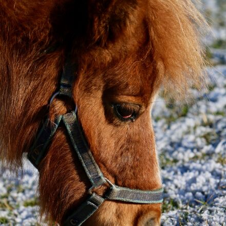pony, head, pasture, Canon EOS 70D