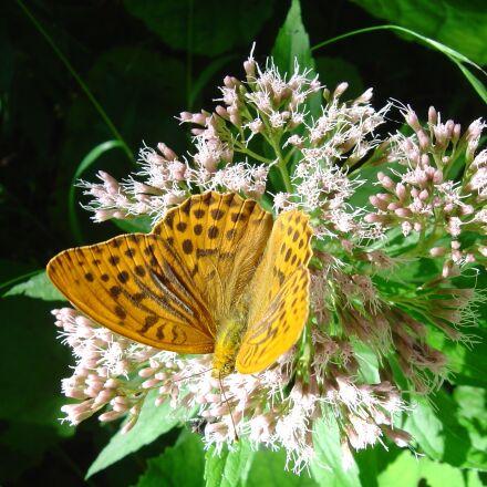 fritillary, butterfly, german butterfly, Sony DSC-P10