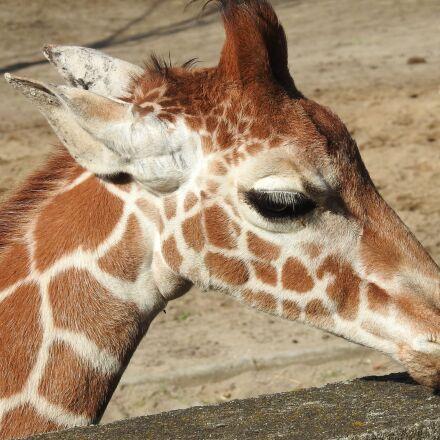 giraffe, giraffe head, zoo, Nikon COOLPIX P900